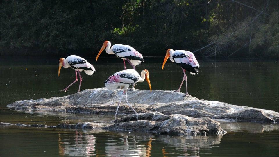 Ranganathittu-Bird